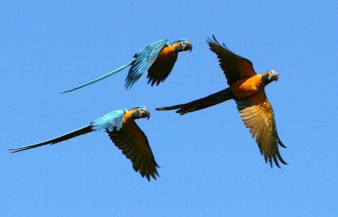 Two times the room for Bolivia's magnificent Blue-throated Macaw