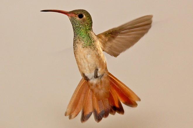 Buff-Bellied-Hummingbird-Sabal-Palm-5-2-12-1-200PI