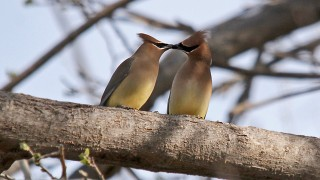 Cear-Waxwing-Page-Springs-3-22-14-1-100PI