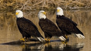 Bald Eagles at Farmington Bay WMA in Utah by Brent Paull.