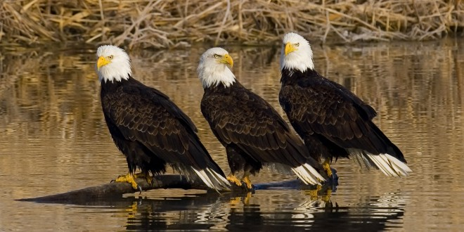 Bald Eagles at Farmington Bay WMA in Utah by Brent Paull.
