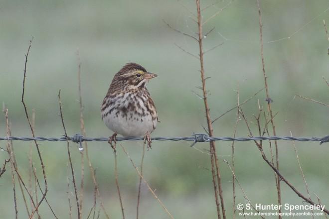 DSC0022-Savannah-Sparrow