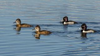 DSC0036-Ring-necked-Ducks