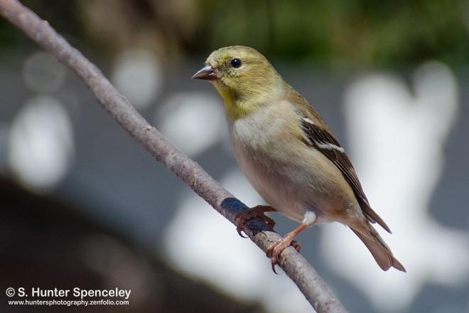 DSC0068-American-Goldfinch