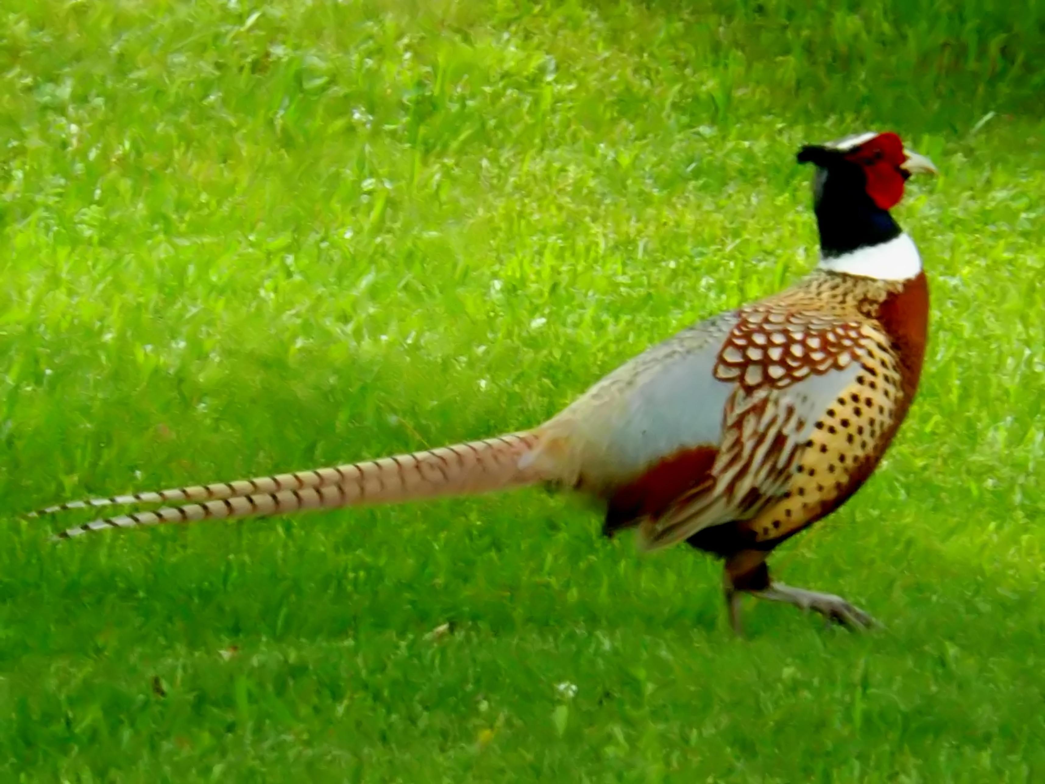 Ring-necked Pheasant - BirdWatching