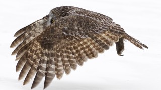 Great-Gray-Owl_20130202_342