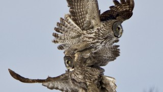 Great-Gray-Owl_Challenge