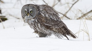 Great-Gray-Owl_Vole