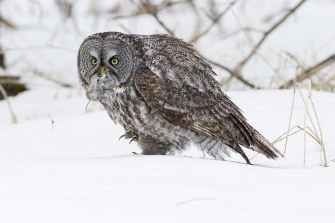 Great-Gray-Owl_Vole