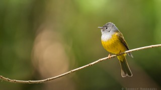 Grey-Headed-Canary-Flycatcher