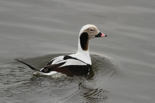 Long-tailed Duck was one of the seven most commonly detected species with botulism. Photo by Randy Smith