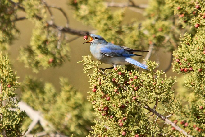 Mountain-Bluebird-Red-Tank-Draw-2-14-14-3-200PI
