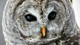 Owlstare