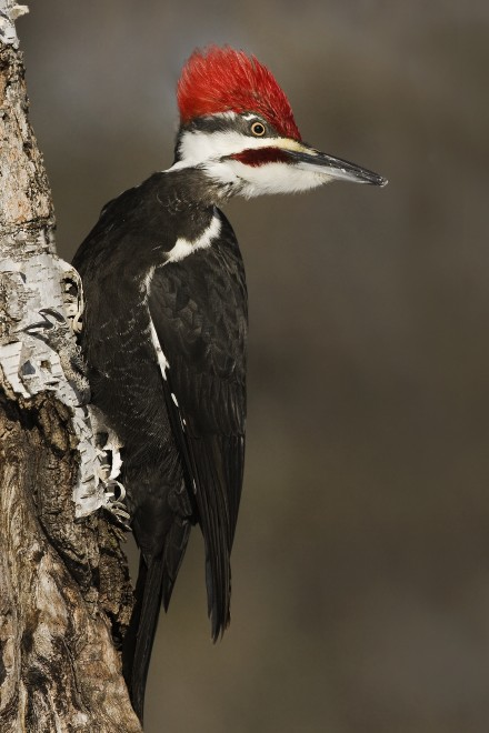 Pileated-Woodpecker