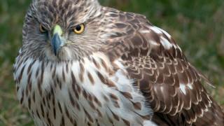 Red-Tail-Hawk-1