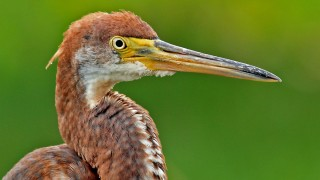 Tricolored-Heron-Wakodahatchee-7-9-11-2-200PI