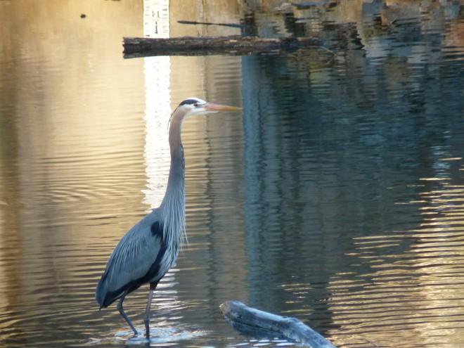 blue-heron-bent-leg