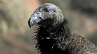 california-condor-2014-tony-britton-3