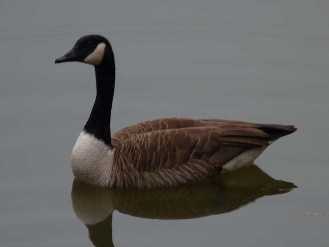 goose-on-glass