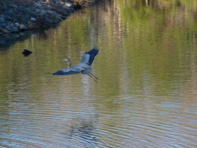 heron-in-flight-1