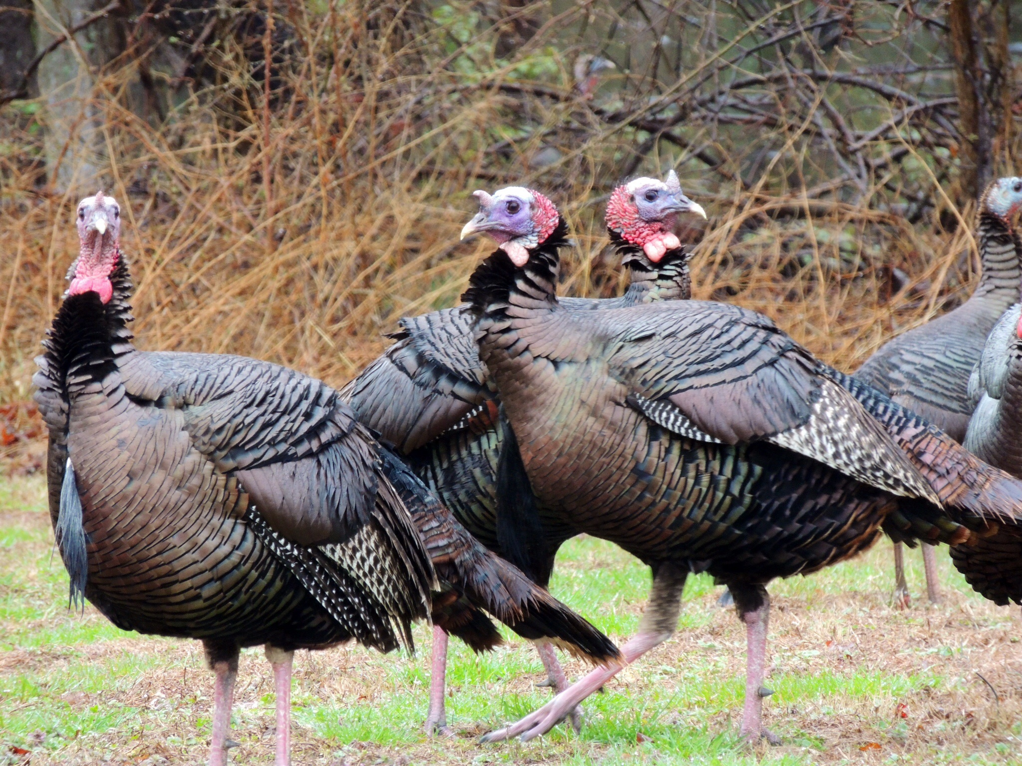 Julie Craves explains what droppings reveal about Wild Turkeys