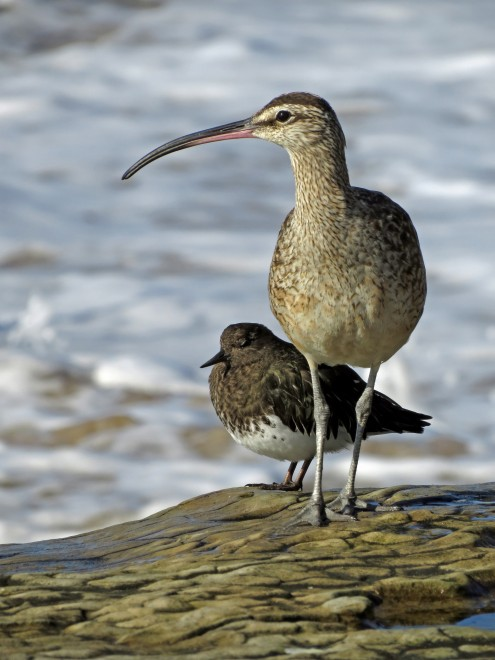 whimbrel-and-turnstone