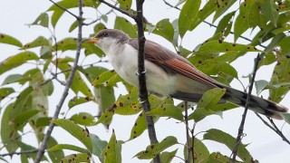 Yellow-billed Cuckoo photo by Kelly Colgan Azar (Creative Commons)