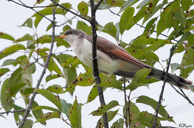 Decision on listing of western Yellow-billed Cuckoo due by October