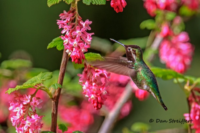Anna's on Flowering Currant