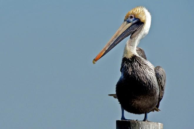 5920b-Pelican-at-Brunswick-GA