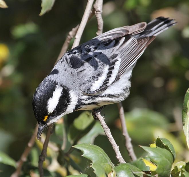 5BTG-Warbler