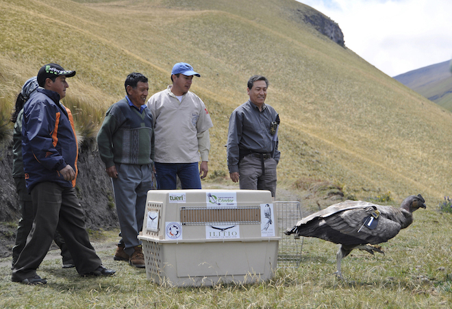 Young Andean Condor released last year in Ecuador is found shot and killed