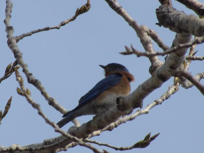 BLUEBIRD-perch.Canal-trail