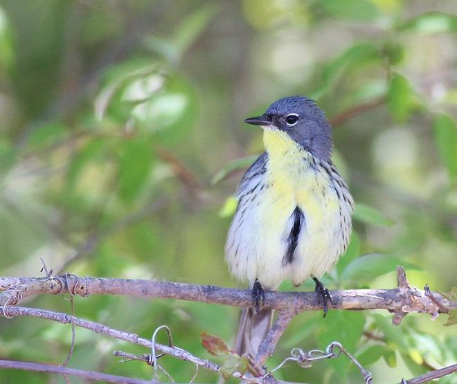 BWAB-Kirtland's-Warbler-preening-belly-by-Kim-Smith-Magee