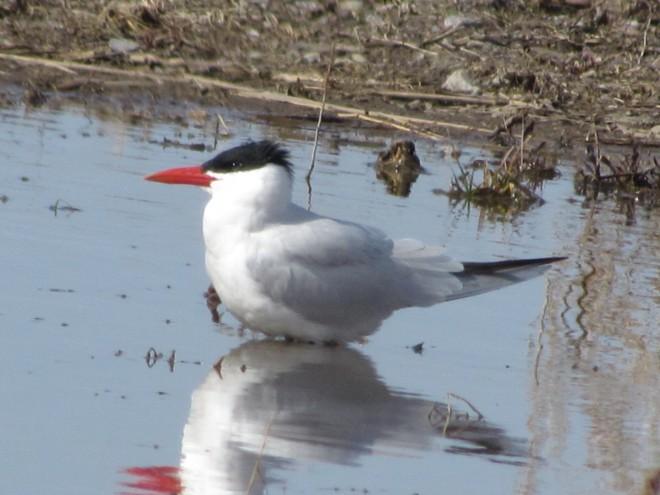 Caspian-Tern.solitary