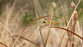 Common-Yellowthroat-Page-Springs-4-5-14-3-200PI