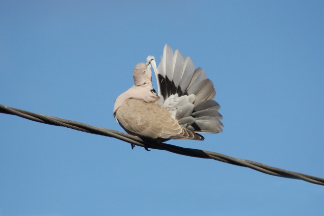 Eurasian-Collared-Dove-Szeszol-3-e-April-1-2013
