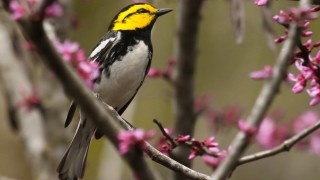 Golden-cheeked Warbler at Friedrich Wilderness Park, San Antonio, Texas, by Lora Render.