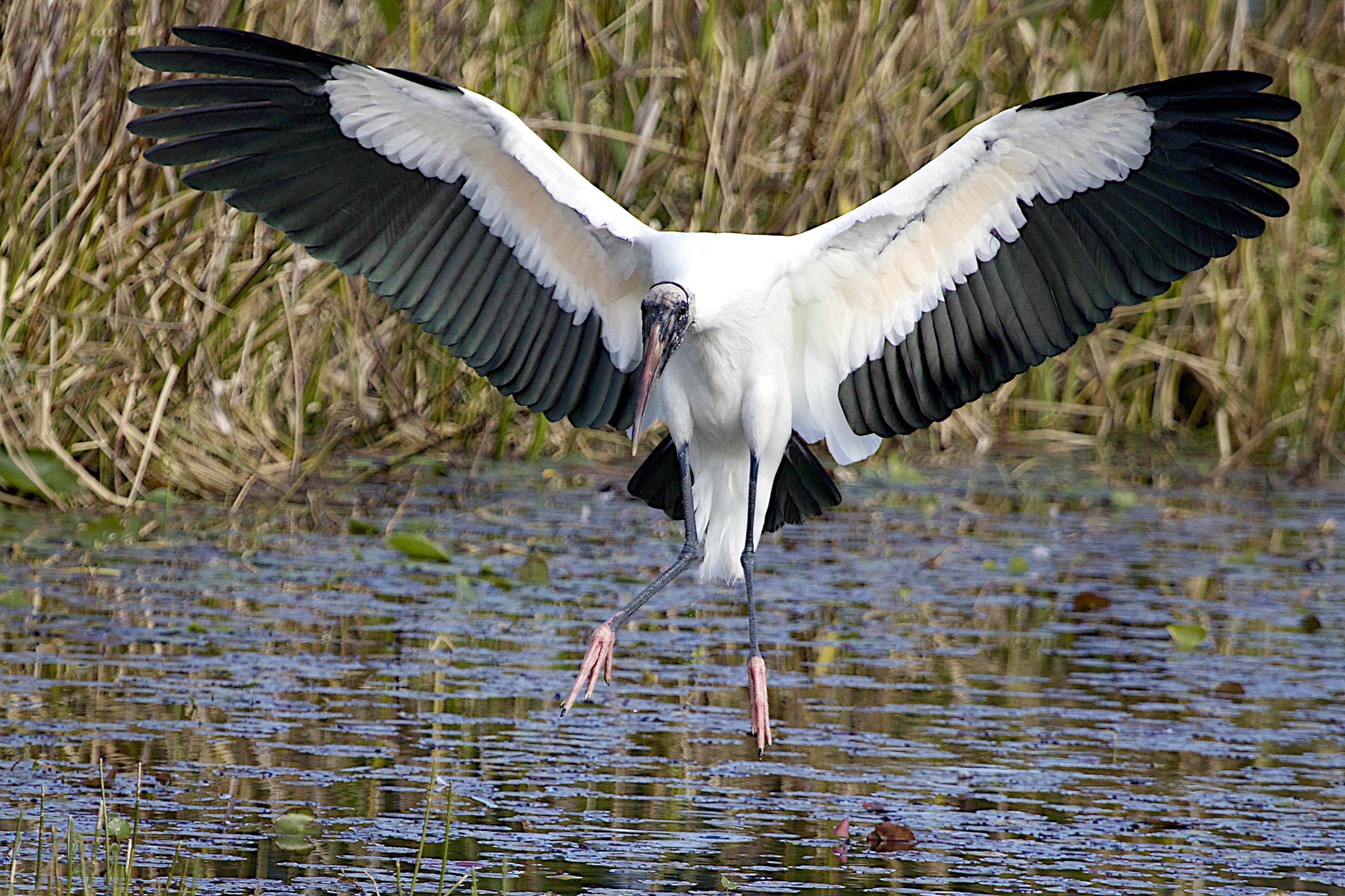 Recovering Wood Stork down-listed from Endangered to Threatened