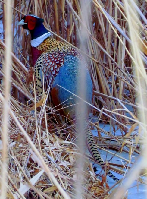 Pheasant-8