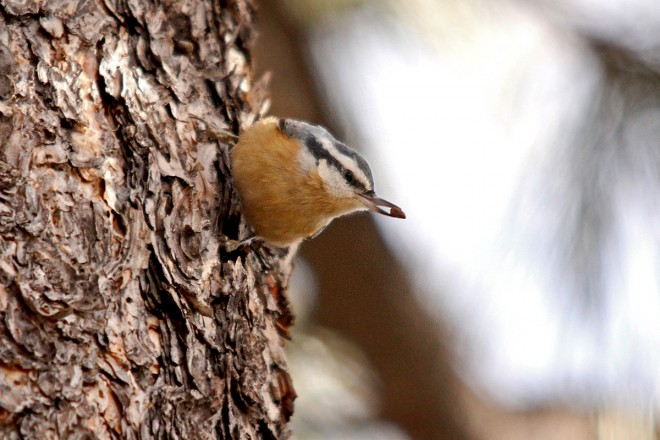 Red-Breasted-Nuthatch-Elden-12-11-12-1-200PI