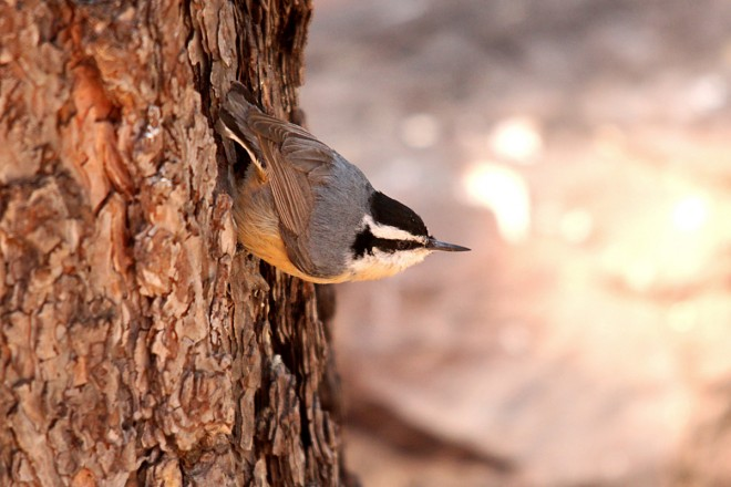 Red-Breasted-Nuthatch-Yard-4-12-14-1-200PI