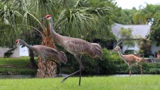 Sandhill-Crane-Family-Sarasota