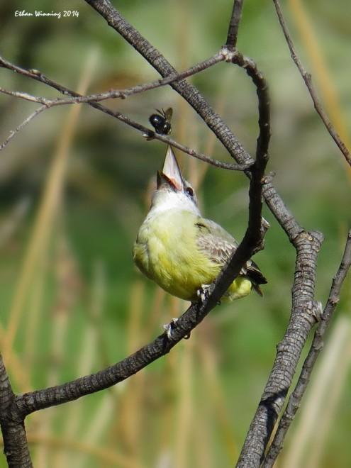 Tropical-Kingbird-Catching-Flies-PR-1070