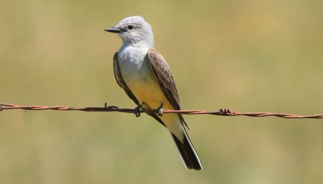 WesternKingbird2