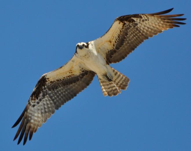 Osprey over Long Beach, Stratford, Connecticut, April 28, 2014, by lcraska.