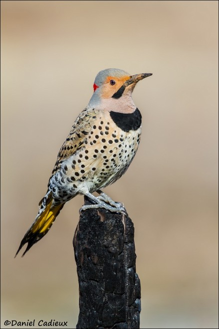 tn_Northern-Flicker_9724-1