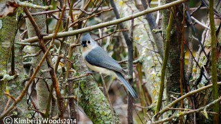 tuftedtitmouse2014copyright