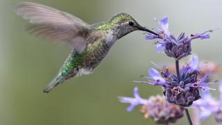 5Anna_s-Hummingbird