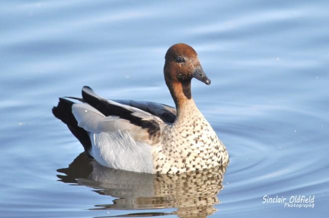 Ausrtalian-Wood-Duck-copy